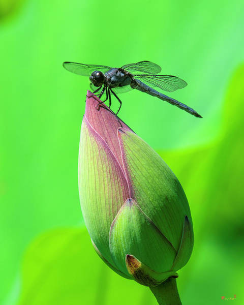 Photograph - Lotus Bud And Slaty Skimmer Dragonfly Dl0105 by Gerry Gantt