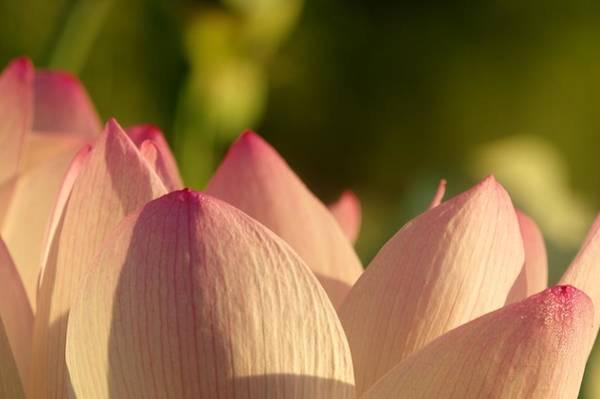 Photograph - Lotus  by Buddy Scott