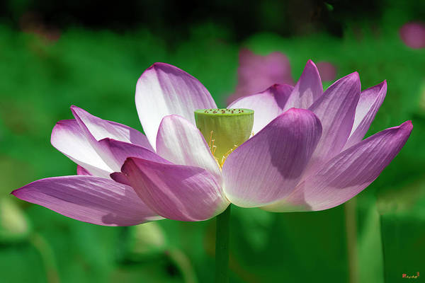 Photograph - Lotus--center Of Being Vi Dl0086 by Gerry Gantt