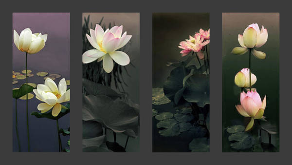 Lotus Pond Photograph - Lotus Collection by Jessica Jenney