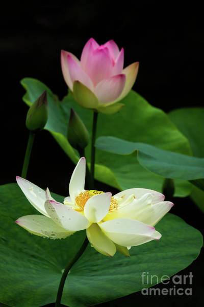 Wall Art - Photograph - Lotus Dancing In The Pond by Sabrina L Ryan