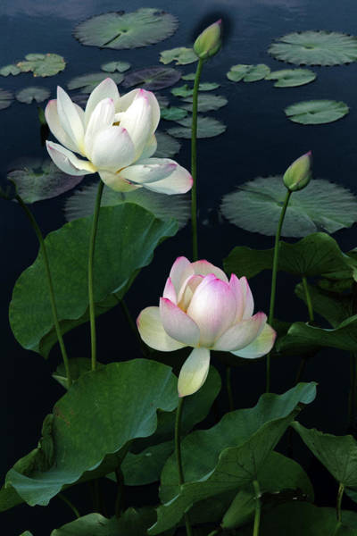 Pink Lotus Flower Photograph - Lotus Duet by Jessica Jenney