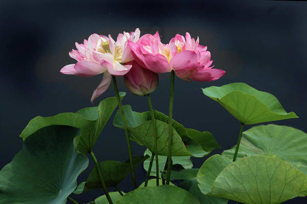 Pink Lotus Flower Photograph - Lotus Embrace by Jessica Jenney