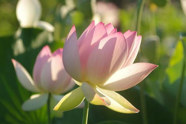 Photograph - Lotus Flower 2 by Buddy Scott