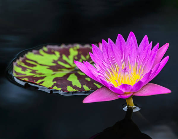 Photograph - Lotus Flower And Pad by Robert Mitchell