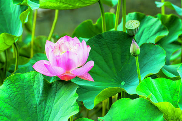 Photograph - Lotus Flower by Dee Browning