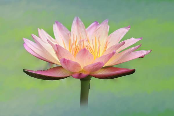 Lotus Mixed Media - Lotus Flower by Lori Deiter
