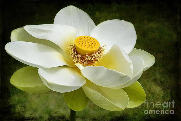 Photograph - Lotus Flower by Teresa Zieba