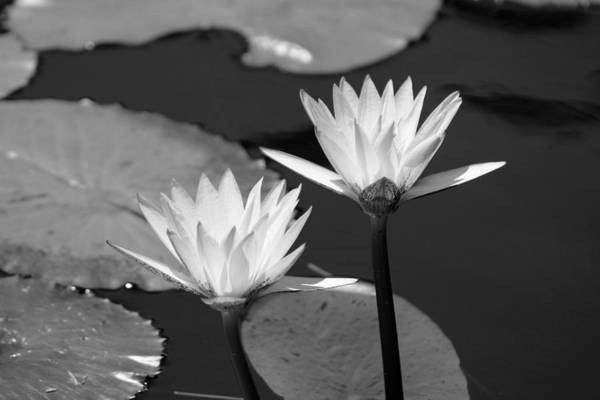 Photograph - Lotus Flowers In Black And White by Colleen Cornelius