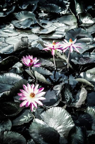 Photograph - Lotus Flowers by Randy Sylvia
