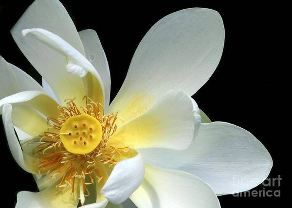 Photograph - Lotus From Above by Sabrina L Ryan