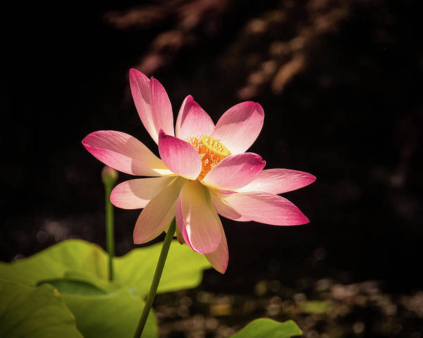 Wall Art - Photograph - Lotus In The Light by Linda Eszenyi