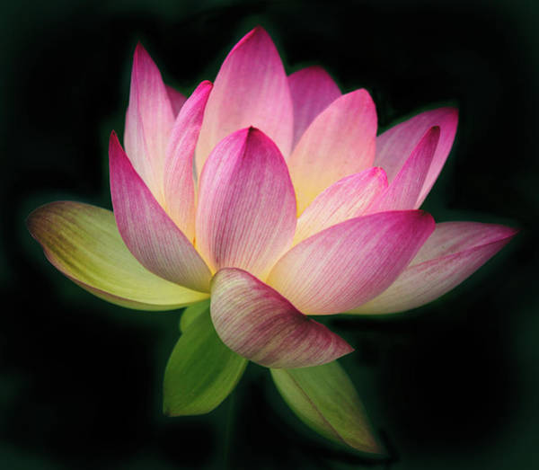 Pink Lotus Flower Photograph - Lotus In The Limelight by Jessica Jenney