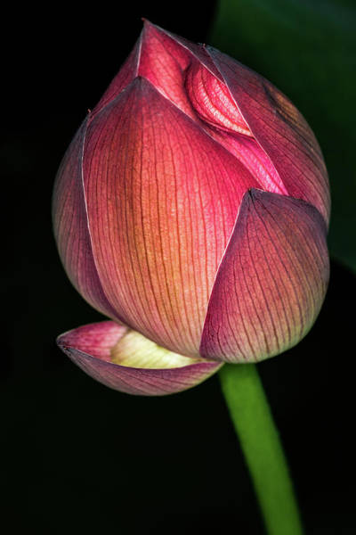 Photograph - Lotus by Jay Stockhaus