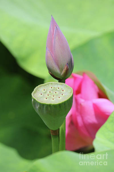 Lotus Seed Wall Art - Photograph - Lotus Layers by Carol Groenen