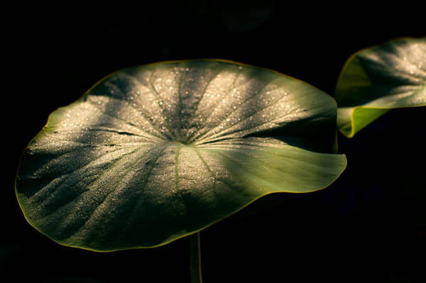 Wall Art - Photograph - Lotus Leaves Morning  Shower by Catherine Lau