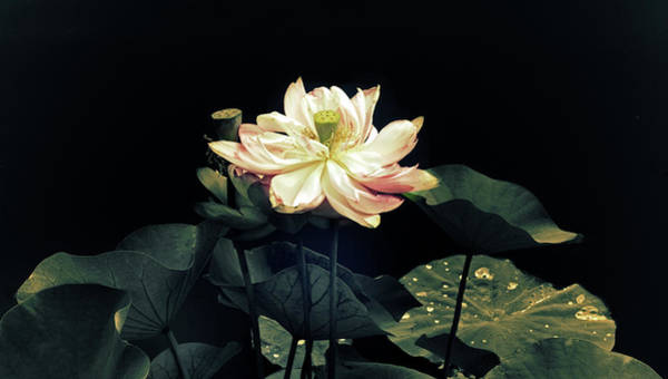 Pink Lotus Flower Photograph - Lotus Nelumbo by Jessica Jenney