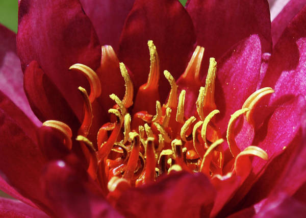Photograph - Lotus Opening IIi by James Granberry