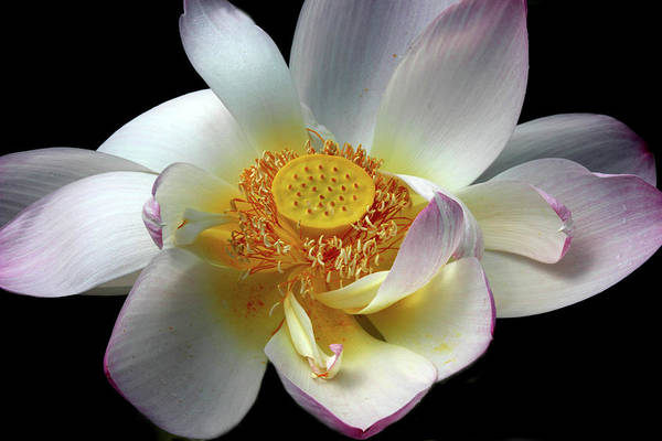 Pink Lotus Flower Photograph - Lotus Petals by Jessica Jenney