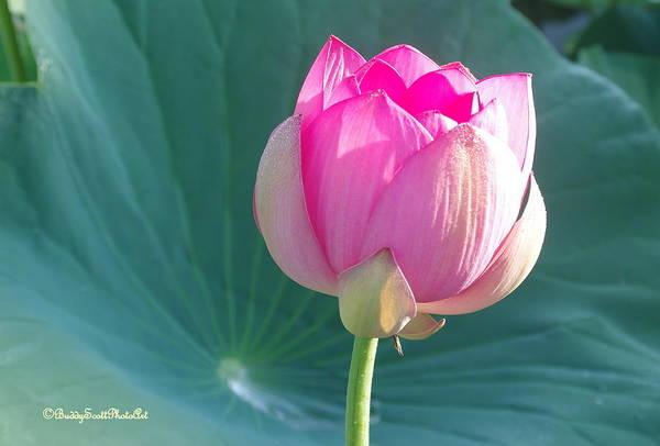 Photograph - Lotus Pink by Buddy Scott