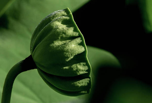 Photograph - Lotus Pod 3 by Buddy Scott