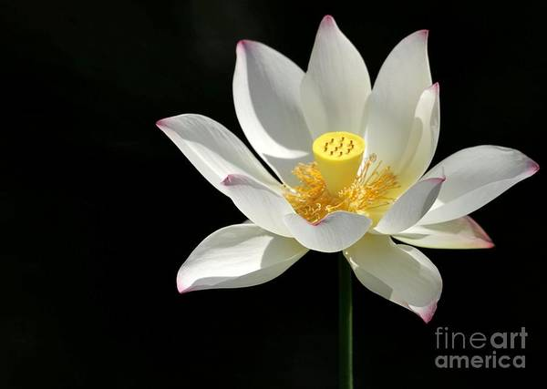 Photograph - Lotus Reaching For The Sun by Sabrina L Ryan