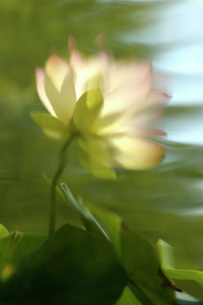 Photograph - Lotus Reflection by Jill Love
