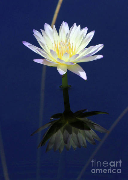 Photograph - Lotus Reflection by Paula Guttilla