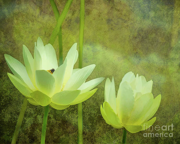 Digital Art - Lotus Study by Susan Cole Kelly