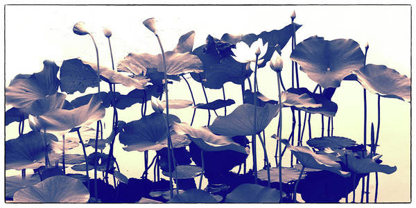 Photograph - Lotus Tapestry by Jessica Jenney