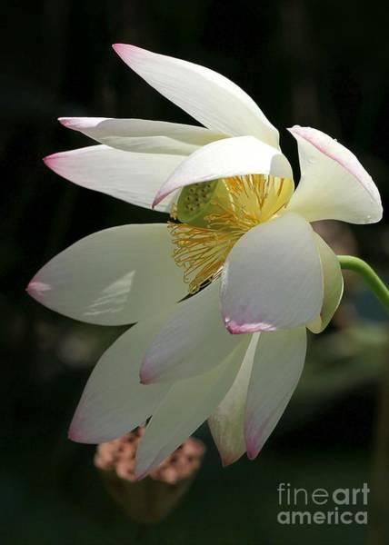 Photograph - Lotus Under Cover by Sabrina L Ryan