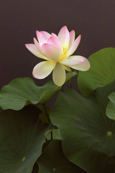 Pink Lotus Flower Photograph - Lotus Unfurled by Jessica Jenney