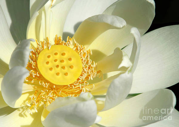 Lotus Seed Wall Art - Photograph - Lotus Up Close by Sabrina L Ryan