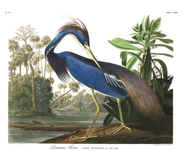 Wall Art - Painting - Louisiana Blue Heron by John James Audubon