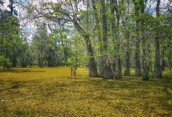 Photograph - Louisiana Swamp In Gold by Mary Capriole