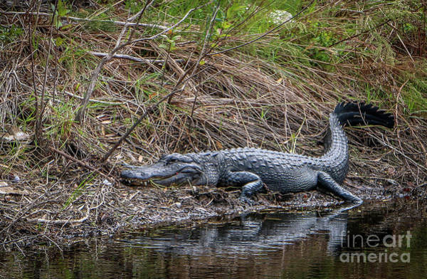 Photograph - Lounging Gator On Bank by Tom Claud