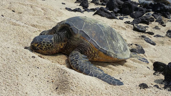 Photograph - Lounging Honu by Pamela Walton
