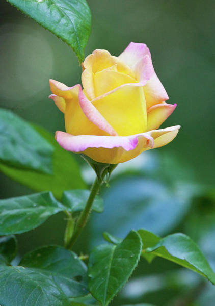 Photograph - Love And A Yellow Rose by Michelle Constantine