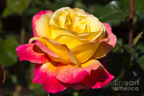 Bicolour Photograph - Love And Peace A Beautiful Bicolour Hybrid Tea Rose In Yellow And Red by Louise Heusinkveld
