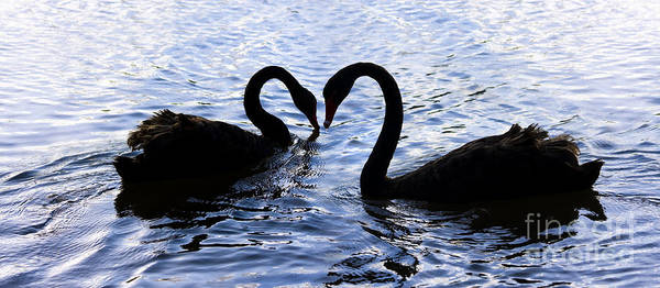 Wall Art - Photograph - Love Birds On Swan Lake by Jorgo Photography - Wall Art Gallery