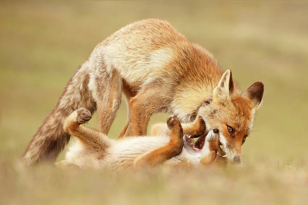 Wall Art - Photograph - Love Bites - Mother Fox And Fox Kit by Roeselien Raimond