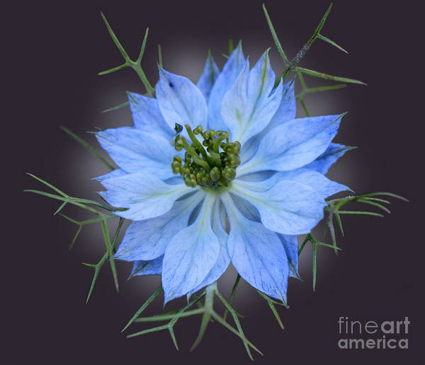 Love In The Mist Photograph - Love In A Mist Black With Light by Karen Adams