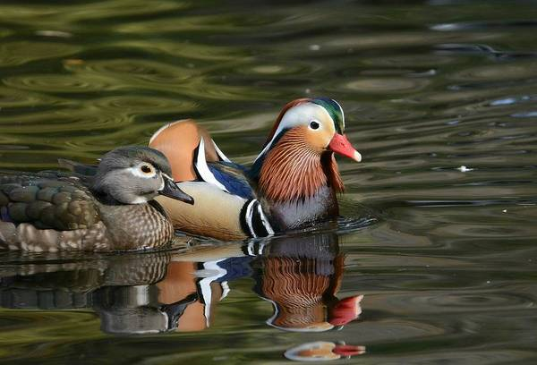 Mandarin Duck Photograph - Love On The Pond by Fraida Gutovich