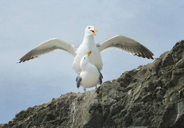 Mating Ritual Photograph - Love On The Rocks by Fraida Gutovich