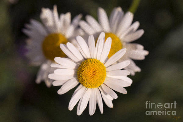 Photograph - Love Triangle Methow Valley Flowers By Omashte by Omaste Witkowski