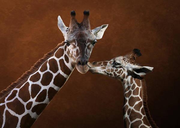 Photograph - Love You - Two Giraffes by Debi Dalio