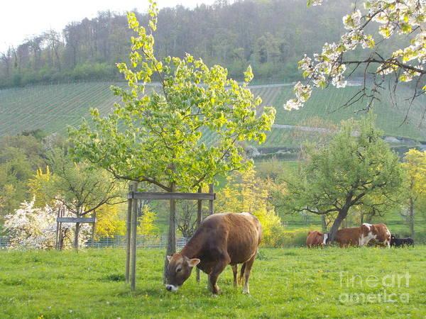 Wall Art - Photograph - Lovely Cows by Angelika Heidemann