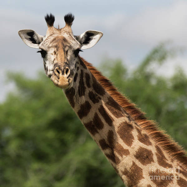 Photograph - Lovely Giraffe In Tarangire - Square Format by RicardMN Photography