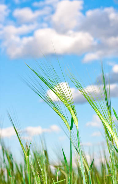 Texture Wall Art - Photograph - Lovely Image Of Young Barley Against An Idyllic Blue Sky by Tom Gowanlock