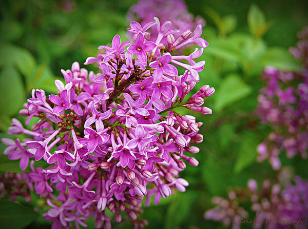 Photograph - Lovely In Lilac by Cricket Hackmann